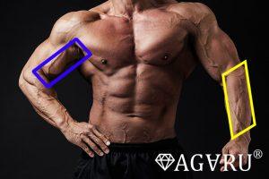 ダンベルハンマーカールで鍛えられる筋肉