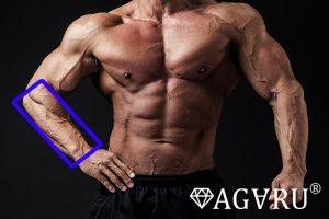 バーベルリストカールで鍛えられる筋肉