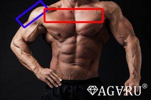 デクラインダンベルフライで鍛えることが出来る筋肉