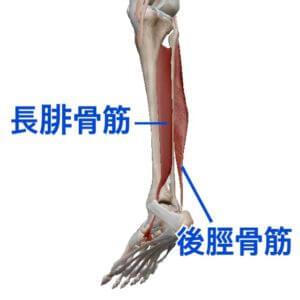 後脛骨筋・長腓骨筋