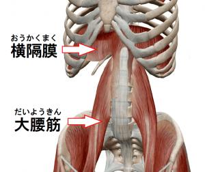 横隔膜・大腰筋