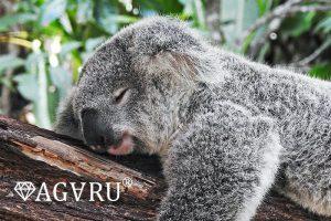 寝ているコアラ