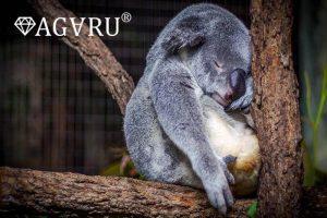 よく寝るコアラ